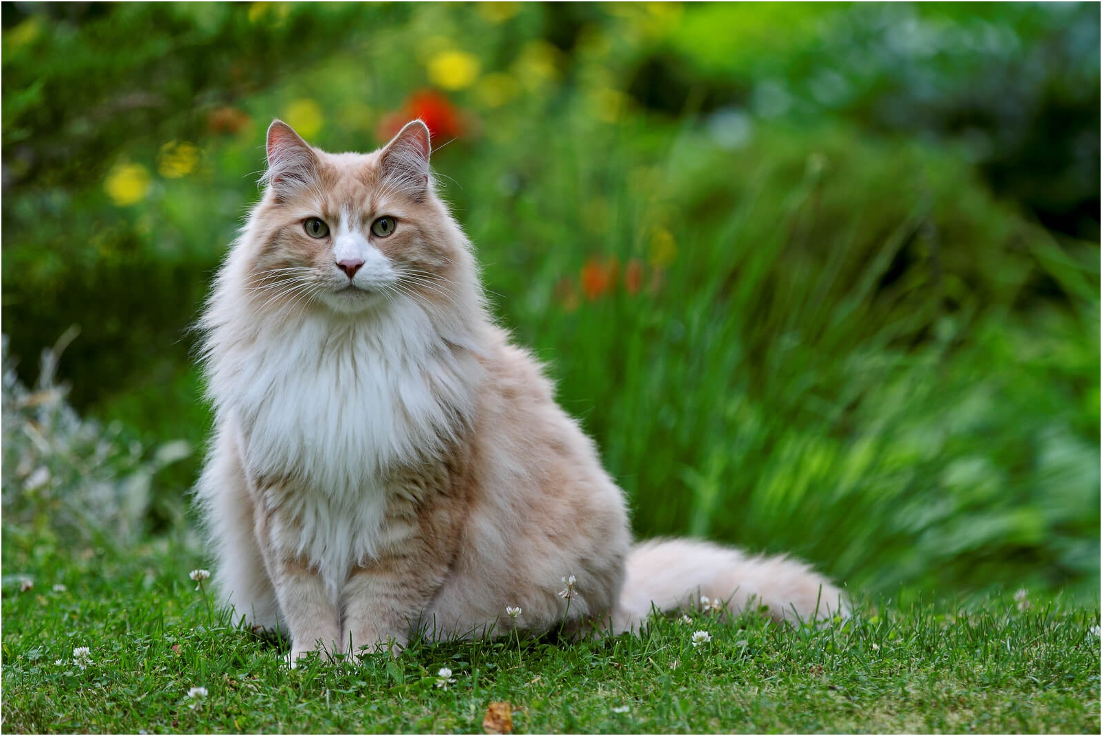 Breed of Norwegian Forest Cat